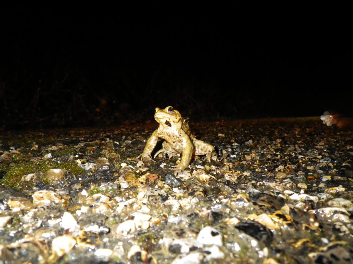 Des amphibiens sur les routes